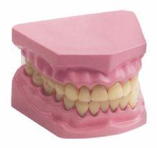 Küçük Diş Modeli